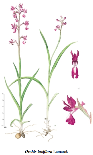 Orchis laxiflora