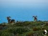 Mufloni di Marettimo